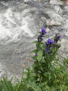 人生て、どこででも花を咲かせられるんだな。ユングフラウ地方(撮影 2015 年8月)